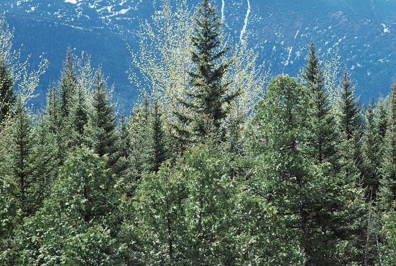 TreesEvergreen
