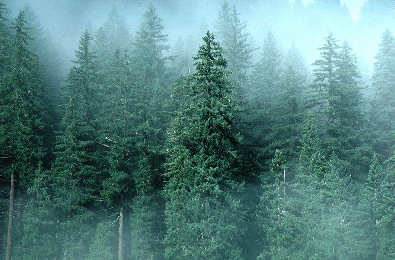 TreesEvergreen4