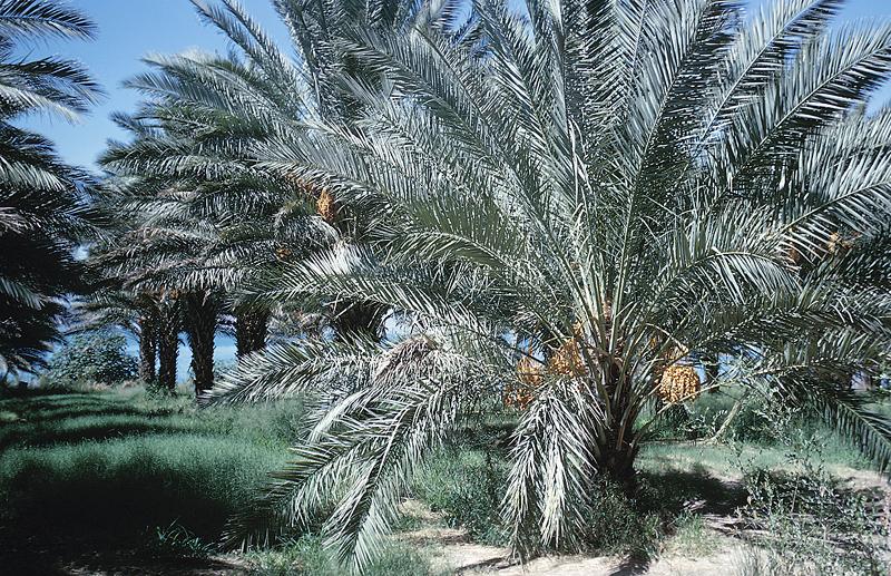 Arab Oasis